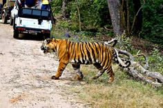 There is no greater thrill than seeing a tiger traverse your path on a jungle safari!