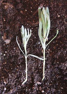 How to grow your own lavender.