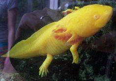 De axolotl, het allerschattigste bedreigde diertje op aarde.