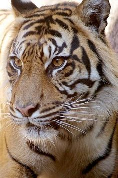 beautiful tiger of leona - Animals Pictures Beautiful Cats, Animals Beautiful, Big Cats, Cats And Kittens, Aigle Animal, Animals And Pets, Cute Animals, Majestic Animals, Tier Fotos