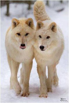 Yellowstone Wolves...