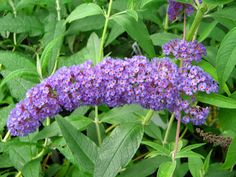 Hey :) does anyone know if rabbits can eat butterfly bush/buddleja? I can't seem to find anything online. Here's a picture of it :) http://ift.tt/2aARtlO