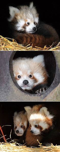 ZSL Whipsnade Zoo recently released the first photos of their new twin Red Panda cubs. The duo, named Bert and Ernie by their keepers, was born June 30.