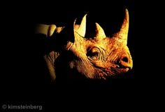 Kim Steinberg art and photography prints for interior decoration Rhino Poaching, Names Of Artists, Rhinoceros, Pet Birds, Art Images, Animals Beautiful, Art Photography, Lion Sculpture, Wildlife