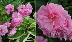 Three Dogs in a Garden: Joe's Garden: Part 2, Mid-June and Mid-July - 'John Davis' Explorer Rose