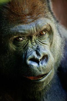 Gorilla at the Bronx Zoo (2012)