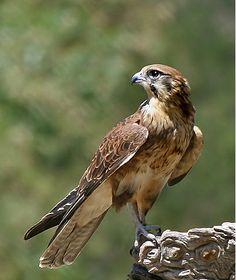 Congo Serpent-Eagle(Dryotriorchis spectabilis)