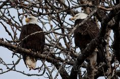 Bald Eagles in a Tree; Haines, Alaska