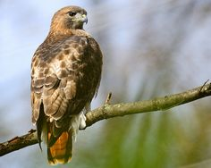 . Red-Tailed Hawk