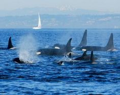 WHALES IN SEATTLE 2013 | SEATTLE (AP) - Biologists are gaining new information about the winter ...