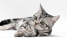 American Shorthair: The American Shorthair is the pedigreed version of the well-known and beloved domestic shorthair. This versatile cat can be bred for any number of colors and patterns, including the popular silver tabby. www.vetstreet.com