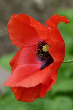 Macro Flower, Flower Art, Exotic Flowers, Beautiful Flowers, Red Poppies, Poppy Flowers, Cheryl Blossom Aesthetic, Flower Pictures, Red Green