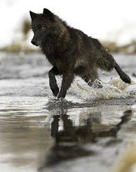 Races de loups
