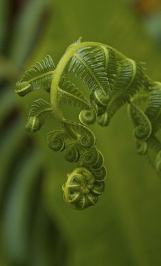 gorgeous fern