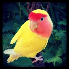 #lutino # lovebird  #yellowbird