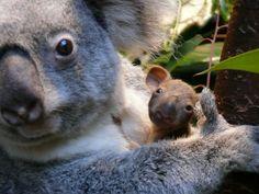 Naissance d'un petit koala au Zoo d'Anvers