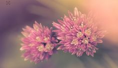 No.163 - Chives by Neil Hamilton on 500px