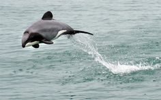 hector-dolphin-leaping-nz.jpg (1000×622)