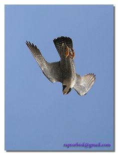 peregrine falcon - fastest diving bird
