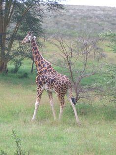 Day 21- Lake Nakuru National Park, Kenya Nairobi, Cape Town, Kenya, Giraffe, National Parks, Africa, Animals, Felt Giraffe, Animales