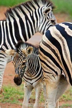 Zebras. Entabeni, South Africa
