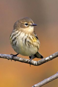 Yellow-rumped warbler by cheryl.rose83