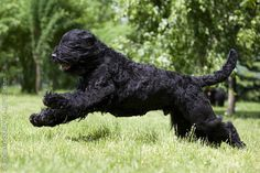 Black Russian Terrier Just met one called Dazzle - beautiful girl with excellent temprament