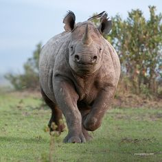 Rhinos have very poor eyesight, so they will often charge without apparent reason. When attacking, the rhino lowers its head, snorts and breaks into a gallop that can be as fast as 48 kilometers per hour mph)! Save The Rhino, Wildlife Conservation, Rhinoceros, African Animals, Primates, Handsome Boys, Fun Facts, Elephant, Fortaleza