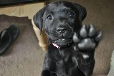 Mind Blowing Facts About Labrador Retrievers And Ideas. Amazing Facts About Labrador Retrievers And Ideas. Chocolate Labrador Retriever, Labrador Retriever Dog, Schwarzer Labrador Retriever, I Love Dogs, Cute Dogs, Baby Labrador, Silly Dogs, Funny Dogs, Most Popular Dog Breeds