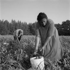 African American farmers: Anne Williams and husband Charles of Sumter, Alabama, pick peas and other produce during harvest season/photo by John Ficara