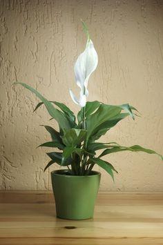 В 1989 году NASA запустило исследование, целью которого было определить самые лучшие комнатные растения для очистки окружающего воздуха.