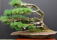 Bonsai. Liking the image of being windswept.