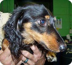 Rockaway, NJ - Dachshund Mix. Meet Clara (JS-TN) MOPS, a dog for adoption. http://www.adoptapet.com/pet/11905073-rockaway-new-jersey-dachshund-mix