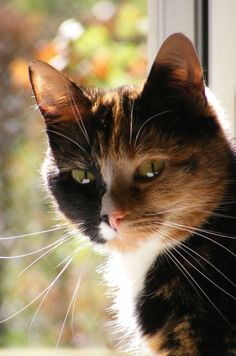 """Nature breaks through the eyes of a cat."" --Irish Proverb Tap the link Now - Luxury Cat Gear - Treat Yourself and Your CAT! Stand Out in a Crowded World! http://www.mainecoonguide.com/maine-coon-vs-norwegian-forest-cat/"