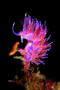 Flabellina affinis    ;)