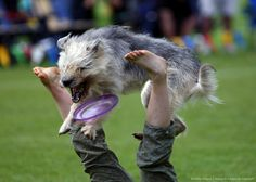 Image detail for -Dog Frisbee - German Championship