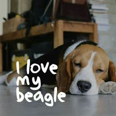YES, I love my BEAGLE.