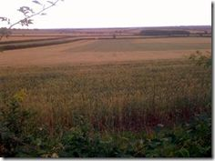 The very wet autumn followed by long cold spring have made themselves felt in agricultural landscape. We are pre-harvest with patchy uneven crops on the turn at the same time. The winter sown crops are clearly behind and very uneven, especially the winter oilseed-rape. Harvest should be under way, b