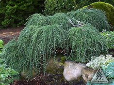 Tsuga canadensis 'Cole's Prostrate' An outstanding dwarf Canadian Hemlock. This spreading conifer has stiff main branches that knuckle under and bend downwards to create a truly prostrate form. Evergreen Garden, Evergreen Shrubs, Trees And Shrubs, Dwarf Trees, Garden Shrubs, Shade Garden, Garden Plants, Canadian Hemlock, Weeping Trees