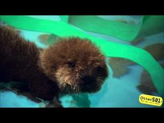 Baby otter squeaks when introduced to water! Footage from the feature film Otter 501:        Meet the playful heroine of the feature film Otter 501! She was rescued on the central coast of California after being separated from her mother, and with a little help from the Monterey Bay Aquarium she'll hopefully become a wild otter again.
