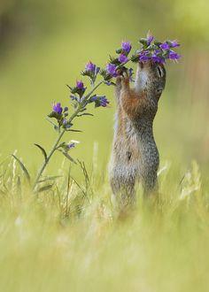 "~~ <a href=""http://www.facebook.com/julian.rad.photography/html/"">Follow me on Facebook</a> ~~   European Ground Squirrel"