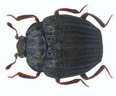 Family: Histeridae Size: 2-2.5 mm Origin: Europe Ecology: under rotting plants in manure, on carrion and fungi Location: Austria, Kaernten, Kleinkirchheim leg.det. U.Schmidt, 1972 Photo: U.Schmidt, 2008