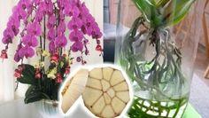 Tuto radu mi dal před lety tchán a těžíme z ní dodnes: Každý zahrádkář potřebuje pro bohatou úrodu jen tuto 1 věc! – Domaci Tipy Phalaenopsis Orchid Care, Orchid Plant Care, Orchid Plants, Outdoor Flowering Plants, Orchid Fertilizer, Orchid Flower Arrangements, Flower Art Images, Growing Orchids, Garden Deco