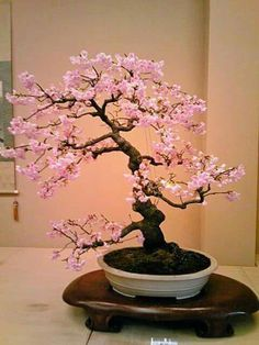 Bonsai styles are different ways of training your bonsai to grow the way you want it to. Get acquainted with these styles which are the basis of bonsai art. Cherry Bonsai, Cherry Blossom Bonsai Tree, Flowering Bonsai Tree, Japanese Bonsai Tree, Bonsai Tree Care, Bonsai Tree Types, Indoor Bonsai Tree, Mini Bonsai, Bonsai Plants