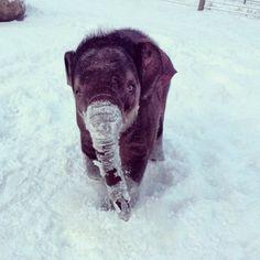 Baby elephant in the snow