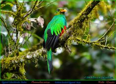 GOLDEN-HEADED QUETZAL Male Pharomachrus auriceps in the Early Morning above Mindo in Northwestern ECUADOR. Quetzal Photo by Peter Wendelken. | por Neotropical Pete