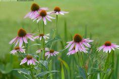 Punahatut - punahatut punahattu auringonhattu Echinacea purpurea auringonhatut…
