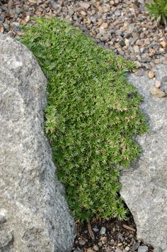 Spectacular Azorella trifurcata great for growing in between pavers