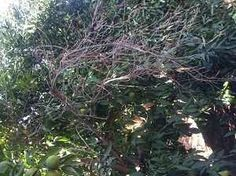 antracnosis rama limonero World, Vegetable Gardening, Hipster Stuff, Plants