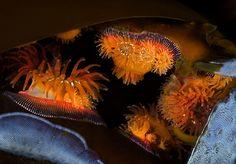 Lace-like bryozoans and proliferating sea anemones adorn fronds of bull kelp